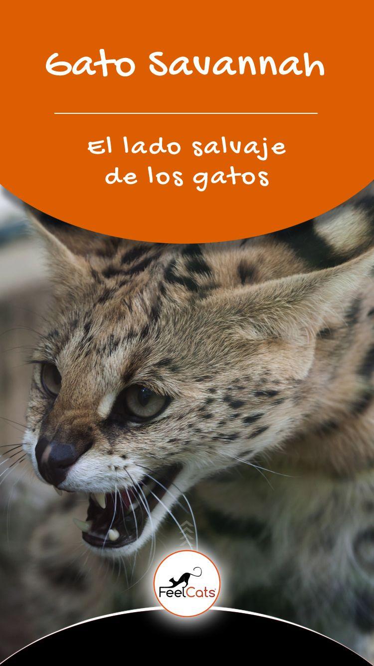 Gato Savannah Todo Sobre El Gato Más Alto Del Mundo Feelcats Savannah Gatos Mejores Fotos