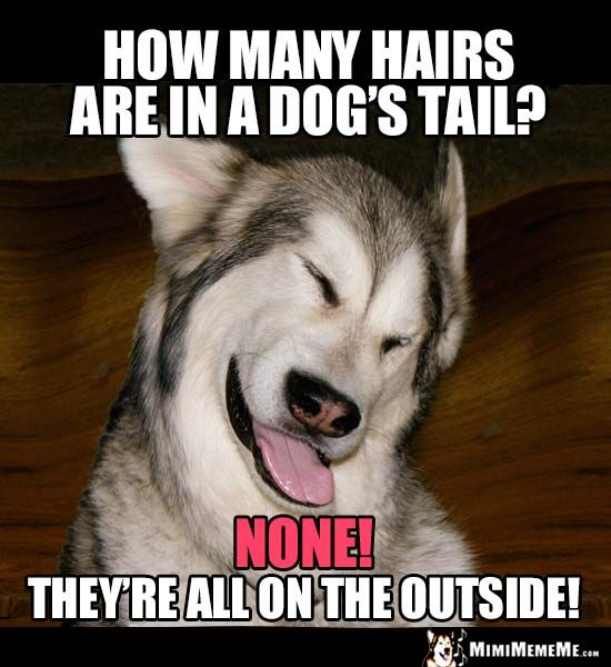 Funny Dog Joke How Many Hairs Are In A Dog S Tail None They Re