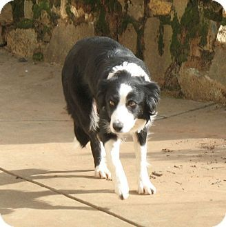 Auburn In Placer County Ca Border Collie Mix Meet Pixie A Dog