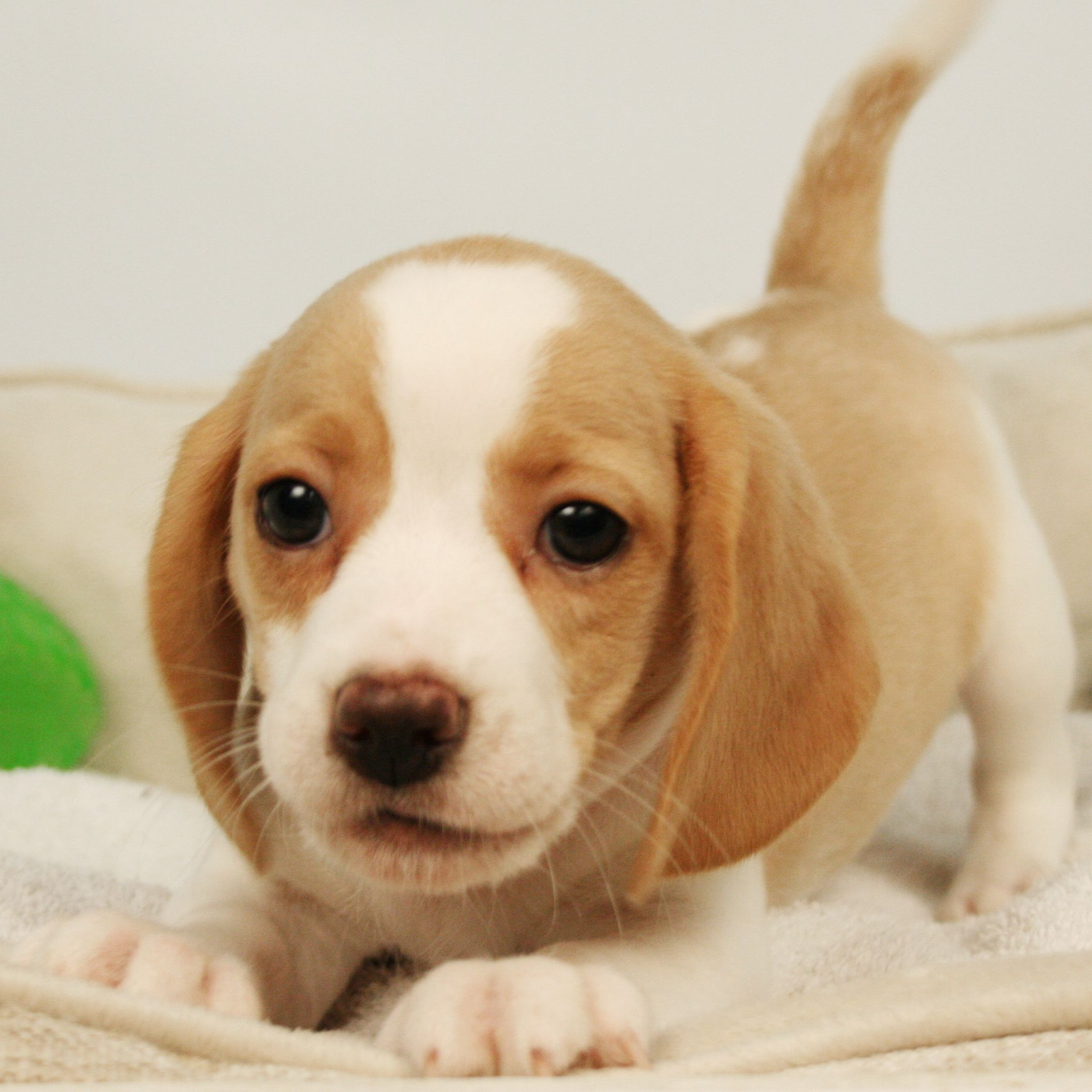Beagles Are Sweet And Adorable Puppies Adorablepuppypics