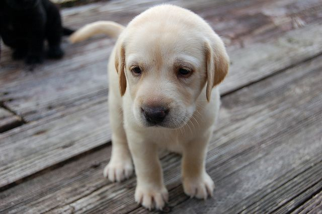 Yellow Lab Puppy Cute Dogs Yellow Lab Puppy Lab Puppies