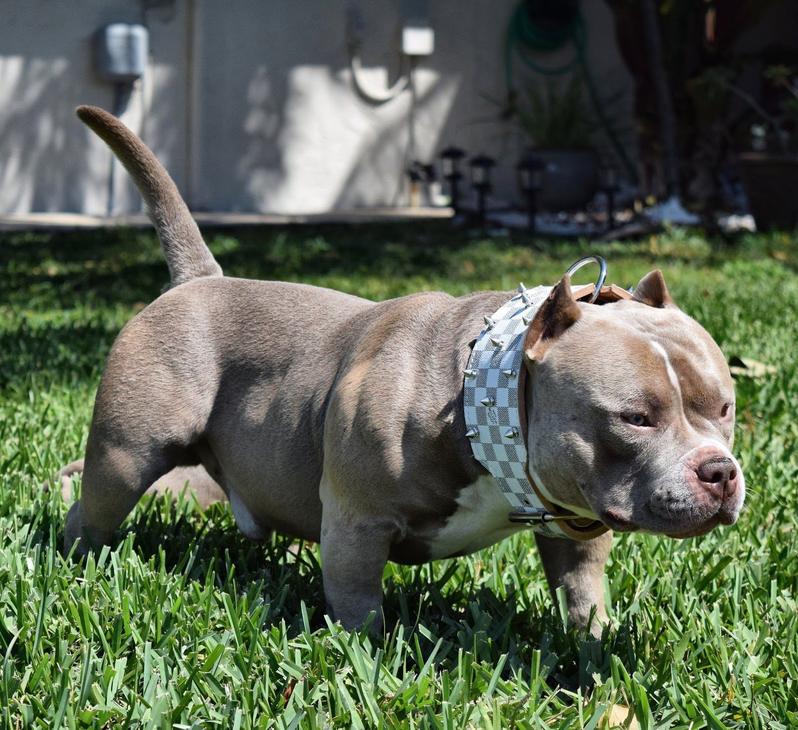 Best Extreme Build Pocket Standard American Bullies Pocket
