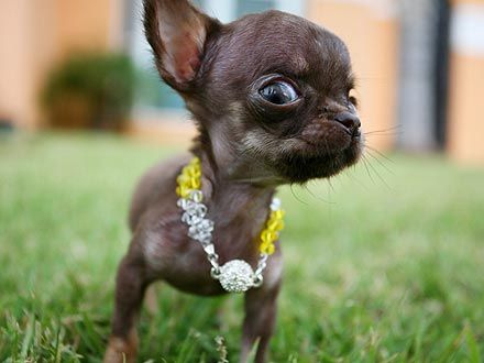 Is This Chihuahua The World S Smallest Dog Funny Animals