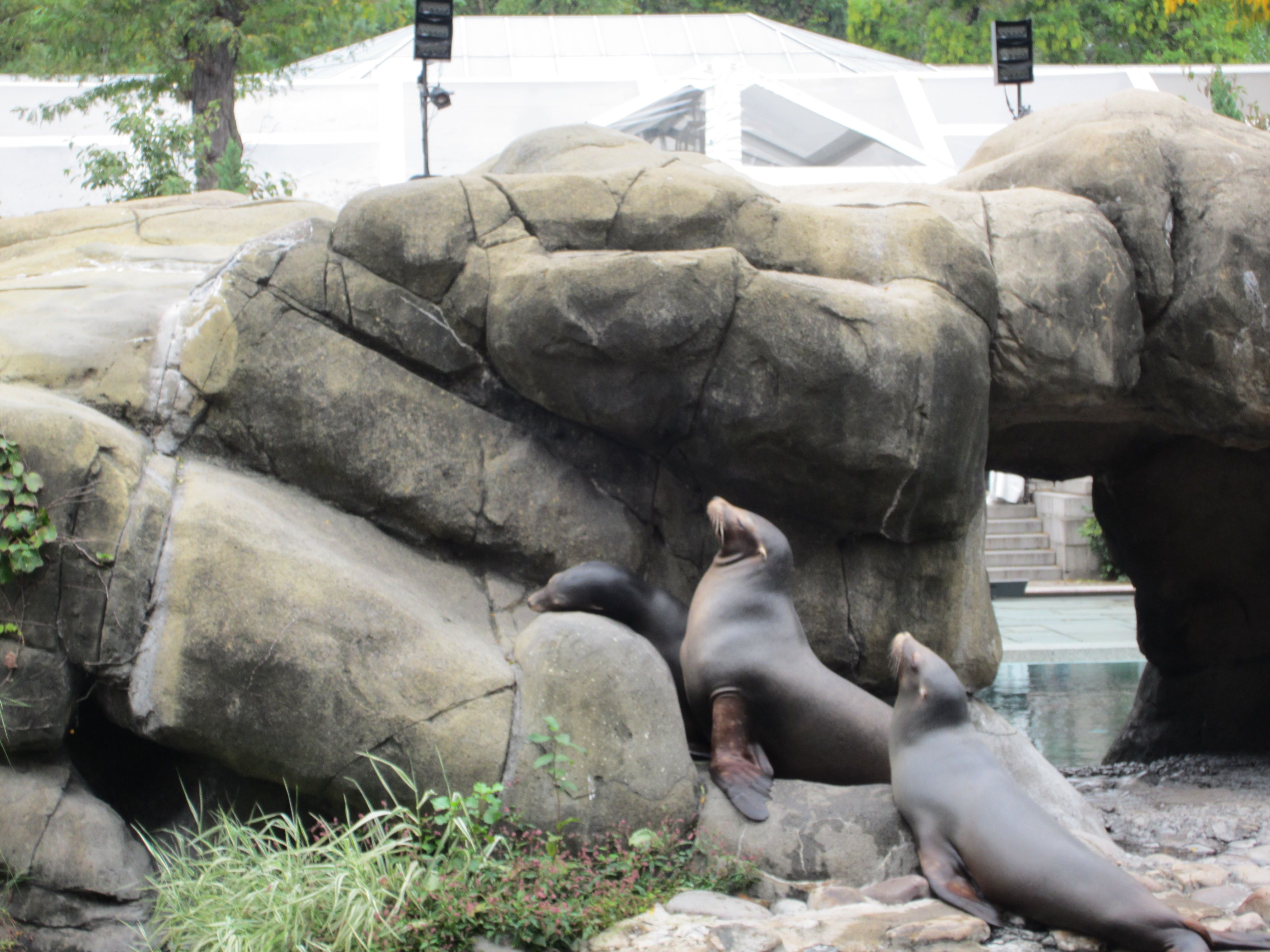 Sea Lions in Central Park Zoo