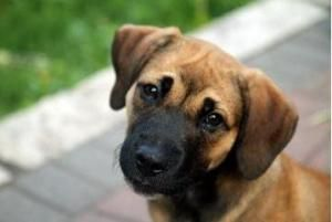 Dove is an adoptable Shepherd Dog in Monticello, MN. Dove is a puppy through and through. Shes brimming with bouncing baby dog energy and overflowing with love and affection. Shes smart, friendly, and...