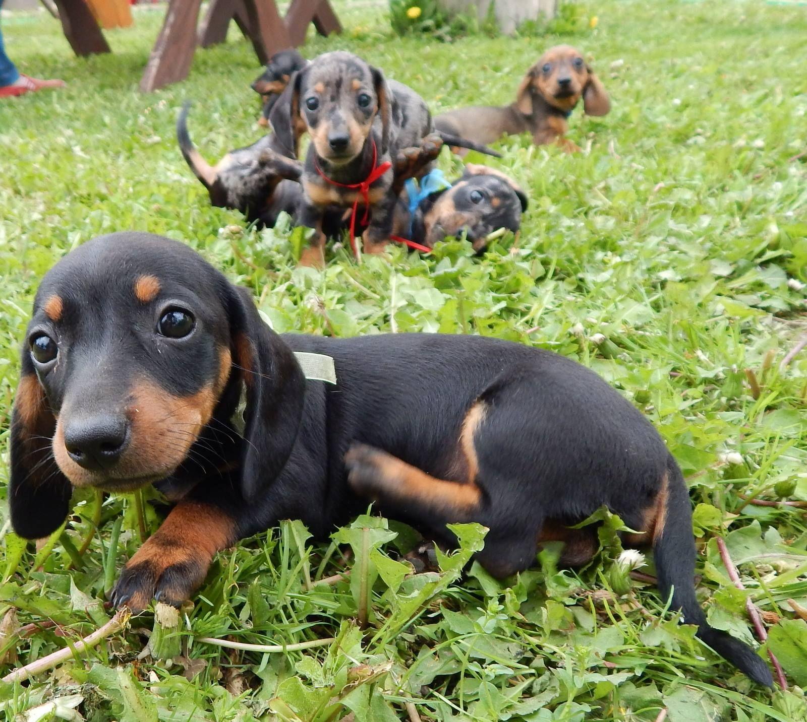 Break Time Doxie Dachshund Aggressive Dog Dachshund Puppies
