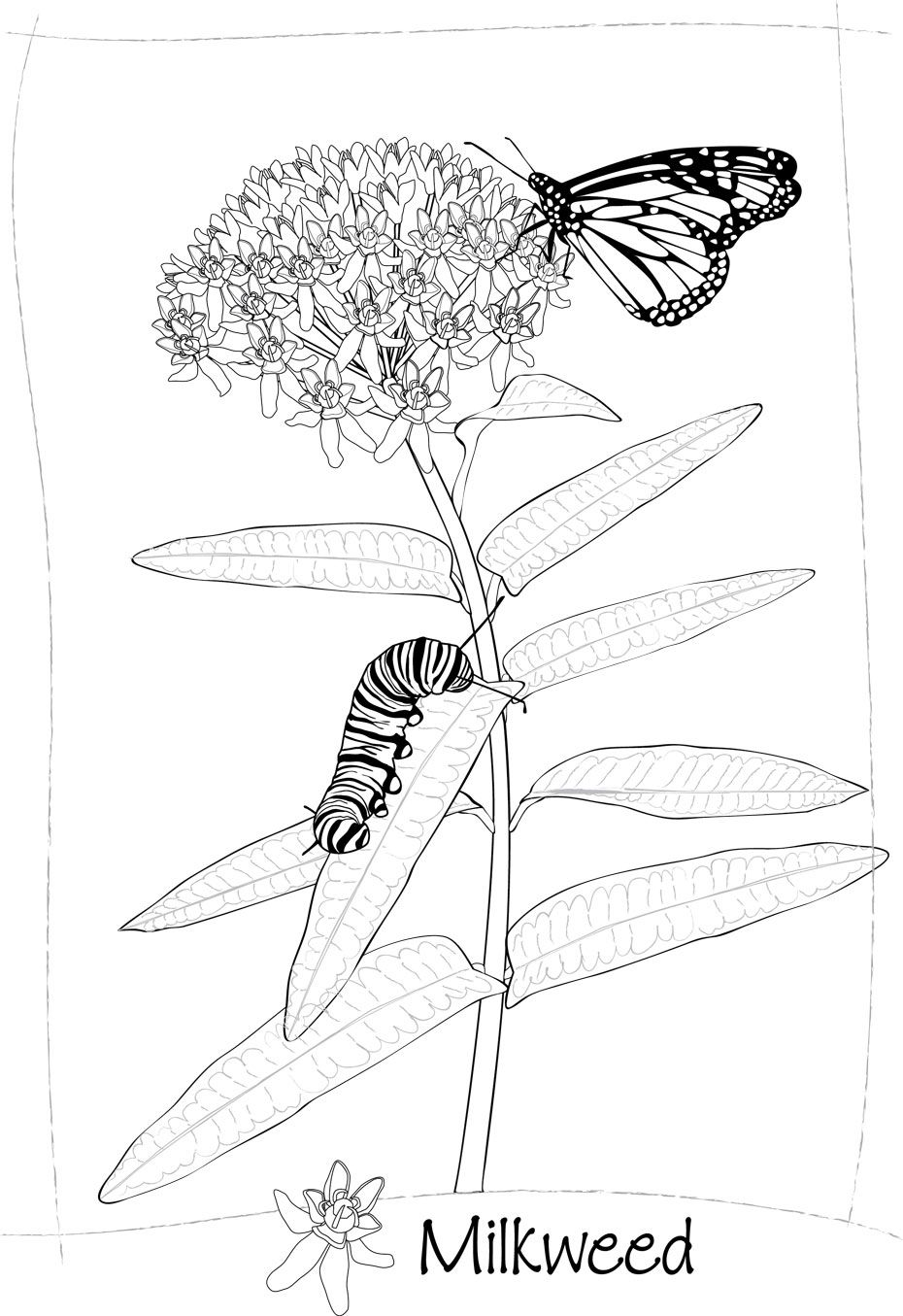 Milkweed Art Linda Cook Plant Art 2013 Meadow Coloring