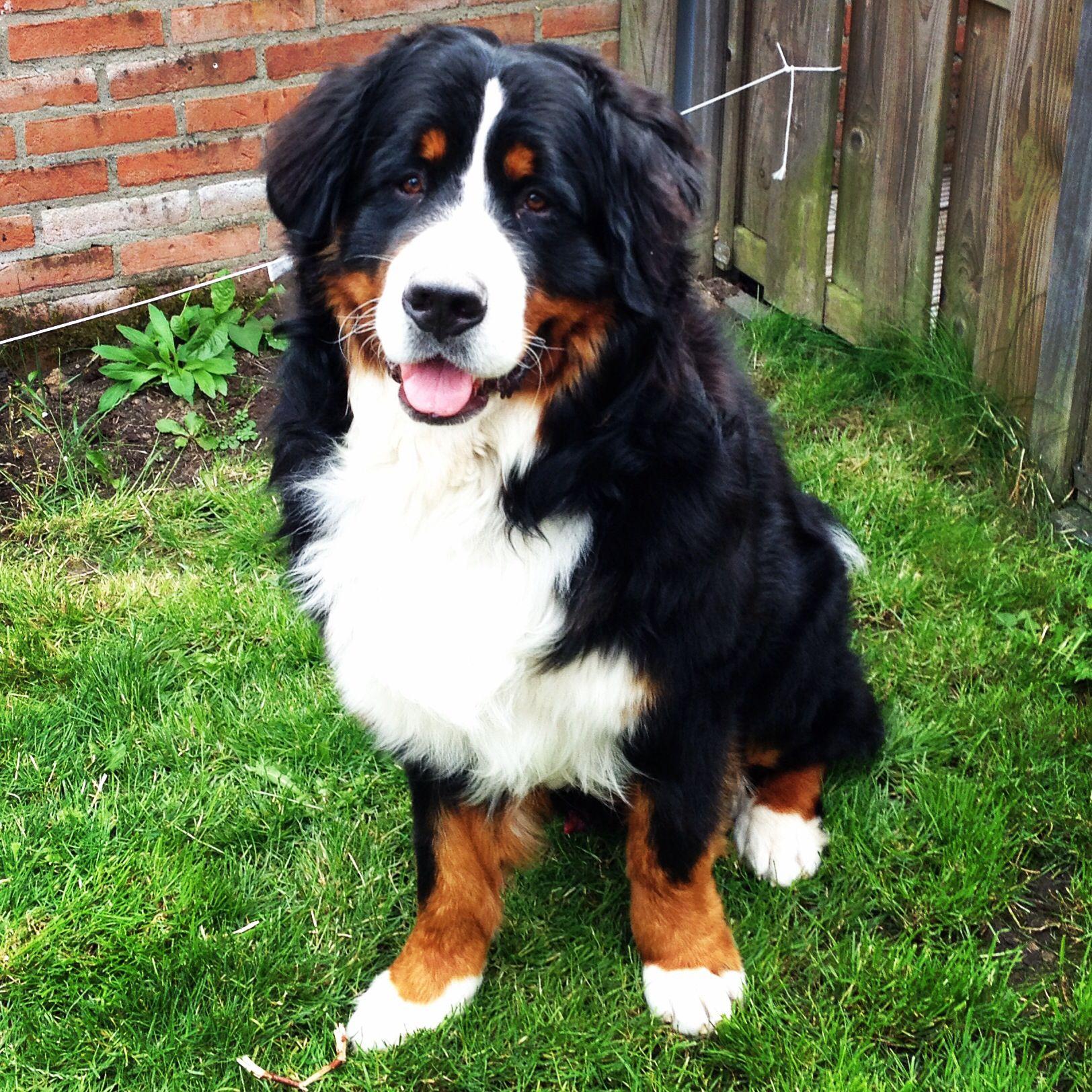 1 Year Old Jip Vanhetbartholomeushuis Bernersennen Bernesemountaindog Bernese Mountain Dog Bernese Puppy Dogs
