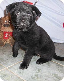 West Chicago Il Chow Chow Rottweiler Mix Meet Puffball A Puppy