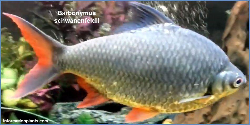 تنفويل بارب Tinfoil Barb سمك زينة انواع الاسماك معلومان عامه معلوماتية نبات حيوان اسماك فوائد Fish Pet Animals Pets