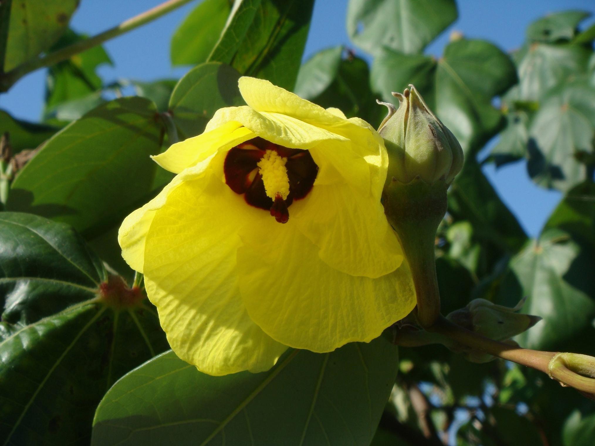 Hibiscus Tiliaceus Sea Hibiscus Flower Family Malvaceae