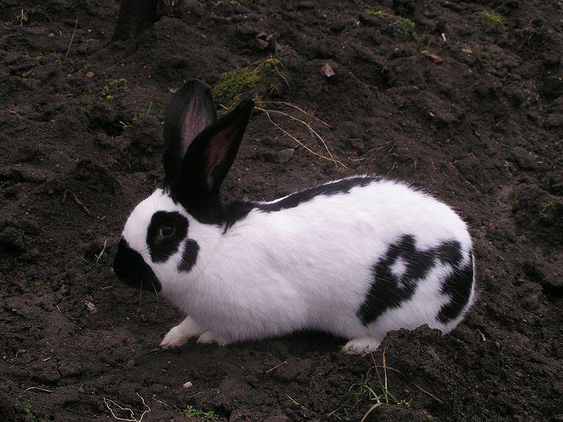 Orijaški ili Nemački Šarac EnCheckered Giant Rabbit