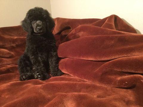 Poodle Standard Puppy For Sale In Fredericksburg Va Adn 37292