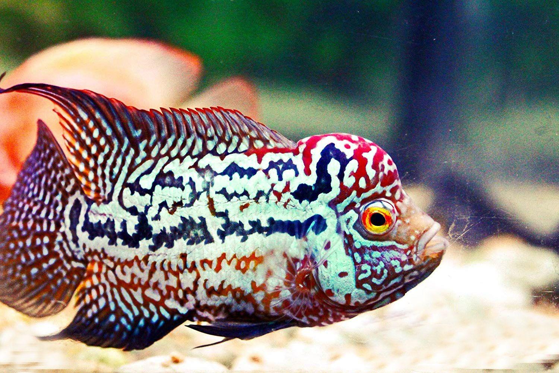 Flowerhorn Fish Sale Cichlid Louhan La Han 花罗汉 For Sale 54 49 Shipping Aquarium Fish Fish Pet Fish
