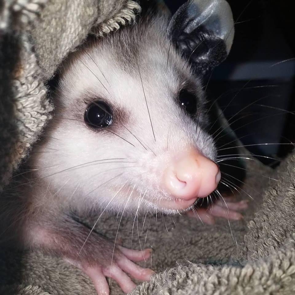 Wally the Opossum Opossum, Awesome possum, Baby possum