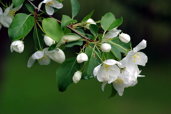 Marjaomenapuu, Malus baccata,