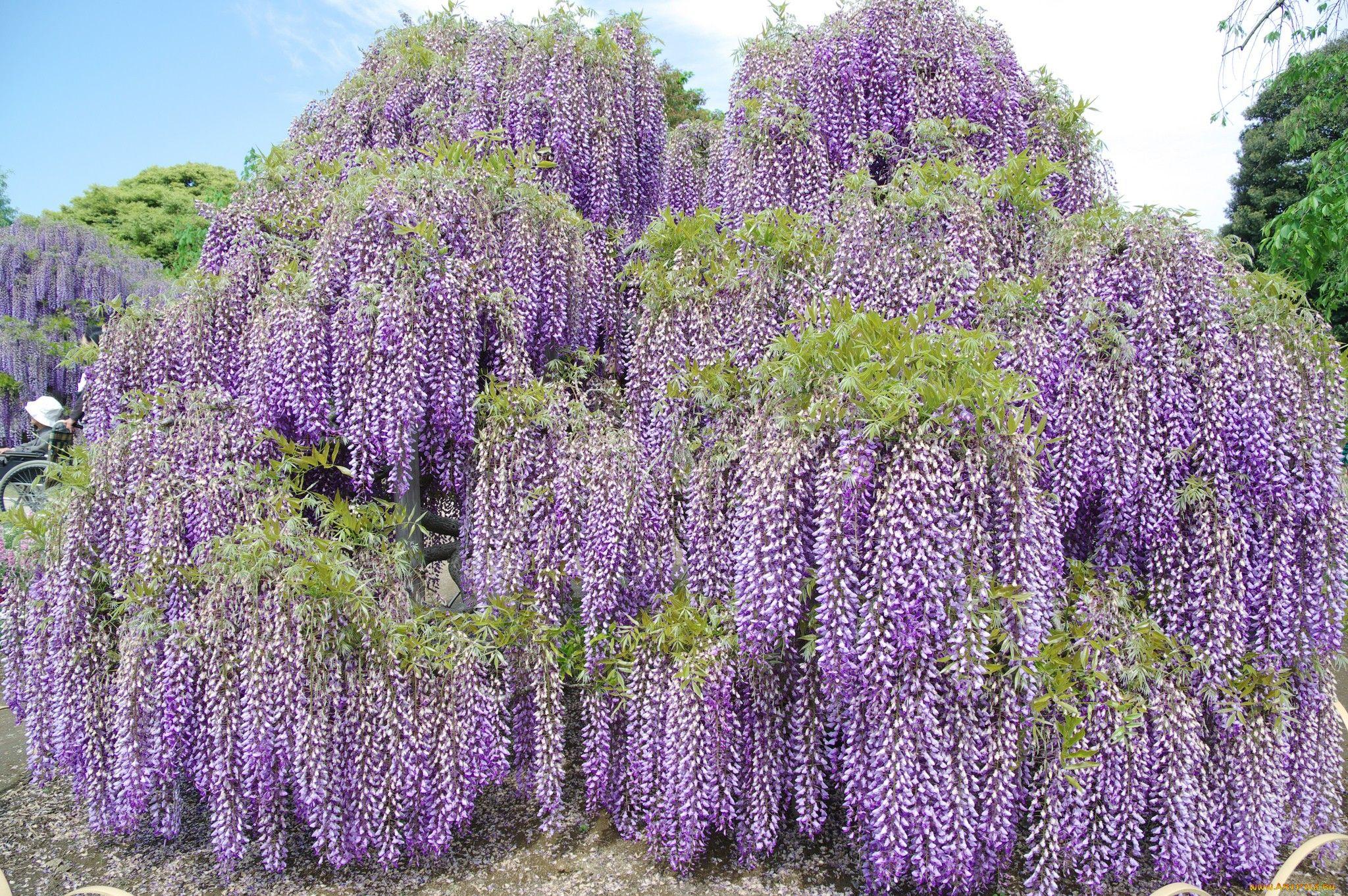 растения с сиреневыми цветами фото и названия имя
