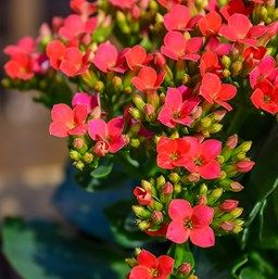 kalanchoe blossfeldiana my indoor plants pinterest kalanchoe blossfeldiana plants and. Black Bedroom Furniture Sets. Home Design Ideas