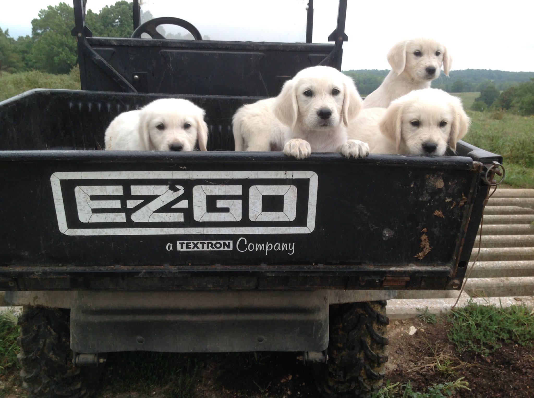 A Puppies Job is Never Done the Ranch! English golden