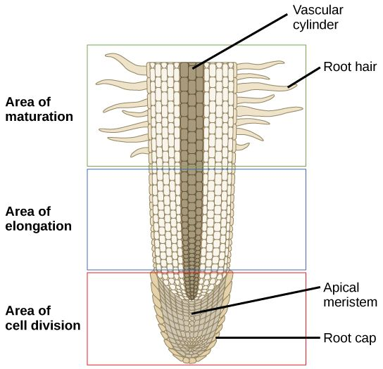 This lateral section of a root tip is divided into three areas an this lateral section of a root tip is divided into three areas an upper area of maturation a middle area of elongation and a lower area of cell division ccuart Choice Image