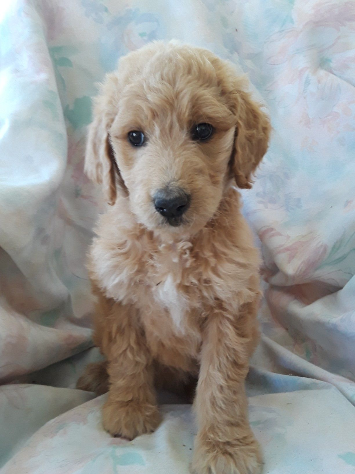 Goldendoodle Puppies For Sale In Montana Our Goldendoodle Puppies