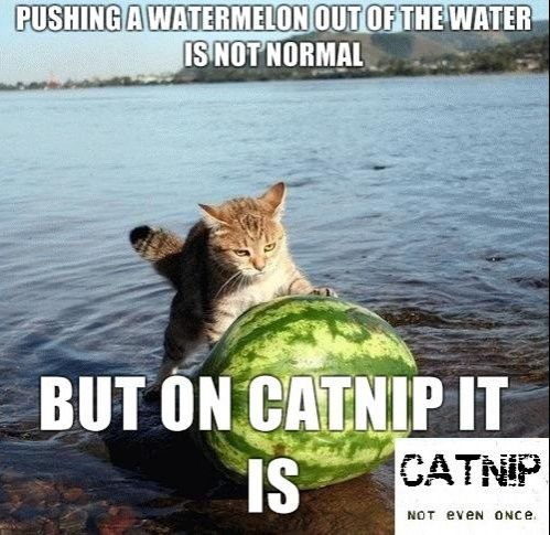 On Catnip Anything is Normal - http://www.imglols.com/on-catnip-anything-is-normal/