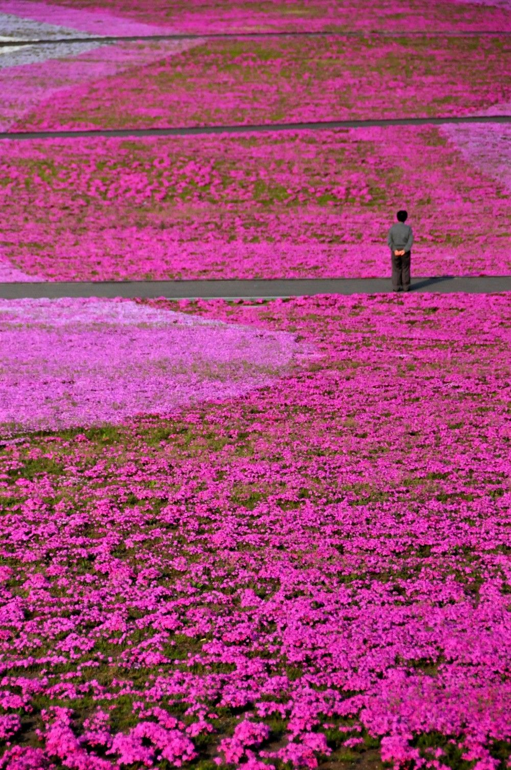 Blooming flowers, the first signs of spring. Flower festival in Shibazakura Hill, Japan
