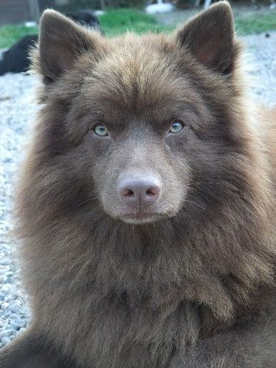 Brauner Grossspitz Hunderassen Susse Tiere Hunde Fotos