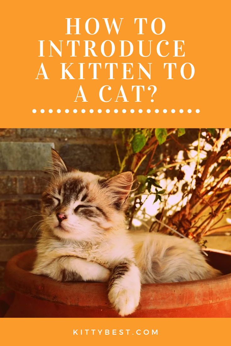 How To Introduce A Kitten To A Cat Cats Kitten Cat Owners