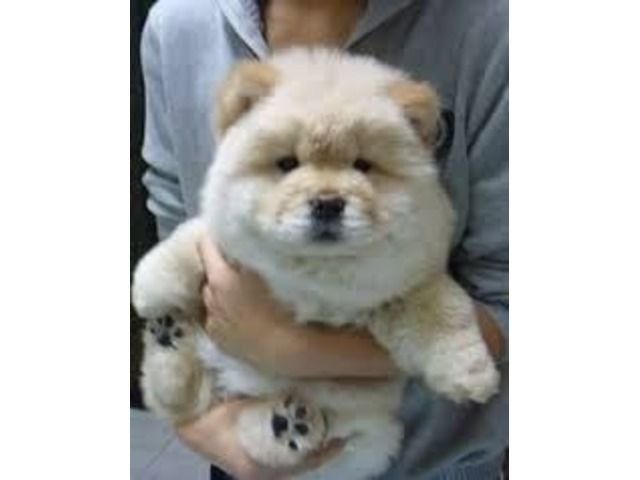 Listing Eee Chow Chow Puppies For Sale Is Published On Free