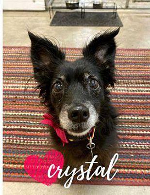 Scottsdale, AZ Dachshund. Meet Crystal a Pet for