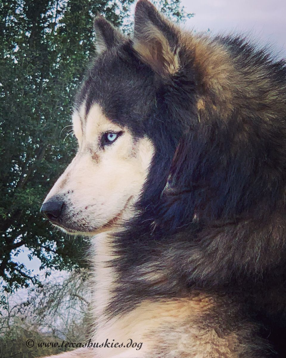 Bloo Watching His Girls Stunning Beautiful Siberianhusky