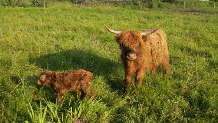 Scottish Highland Cattle | Highland cattle, Farm animals