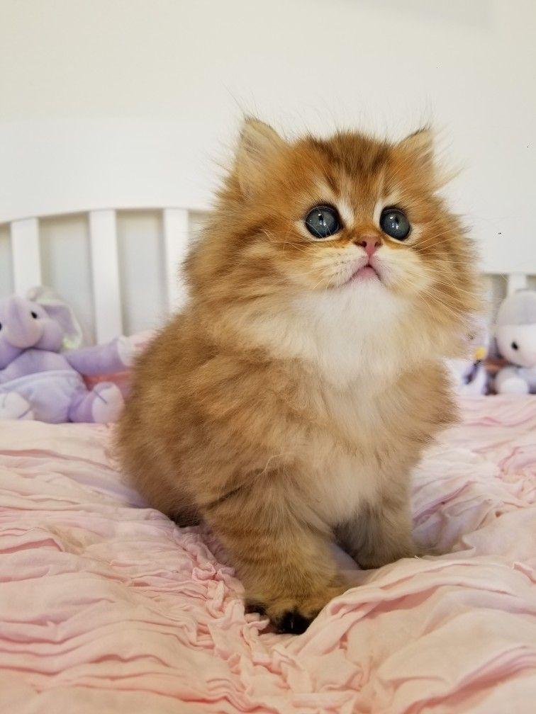 Rosegold Persian kitten   2019 Persian Kittens For Sale