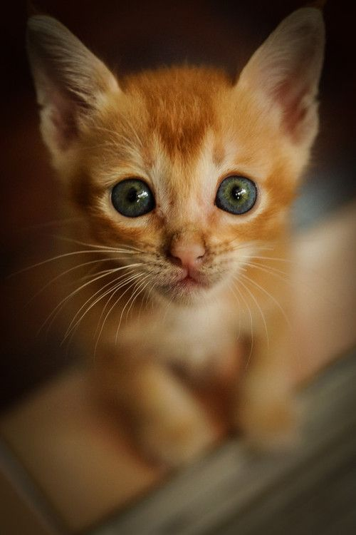 Rokuthecat Curious Kitten By Elviswong My Curious Kitten D Cat Curious Kitten Stare Baby Cats Pretty Cats Cats