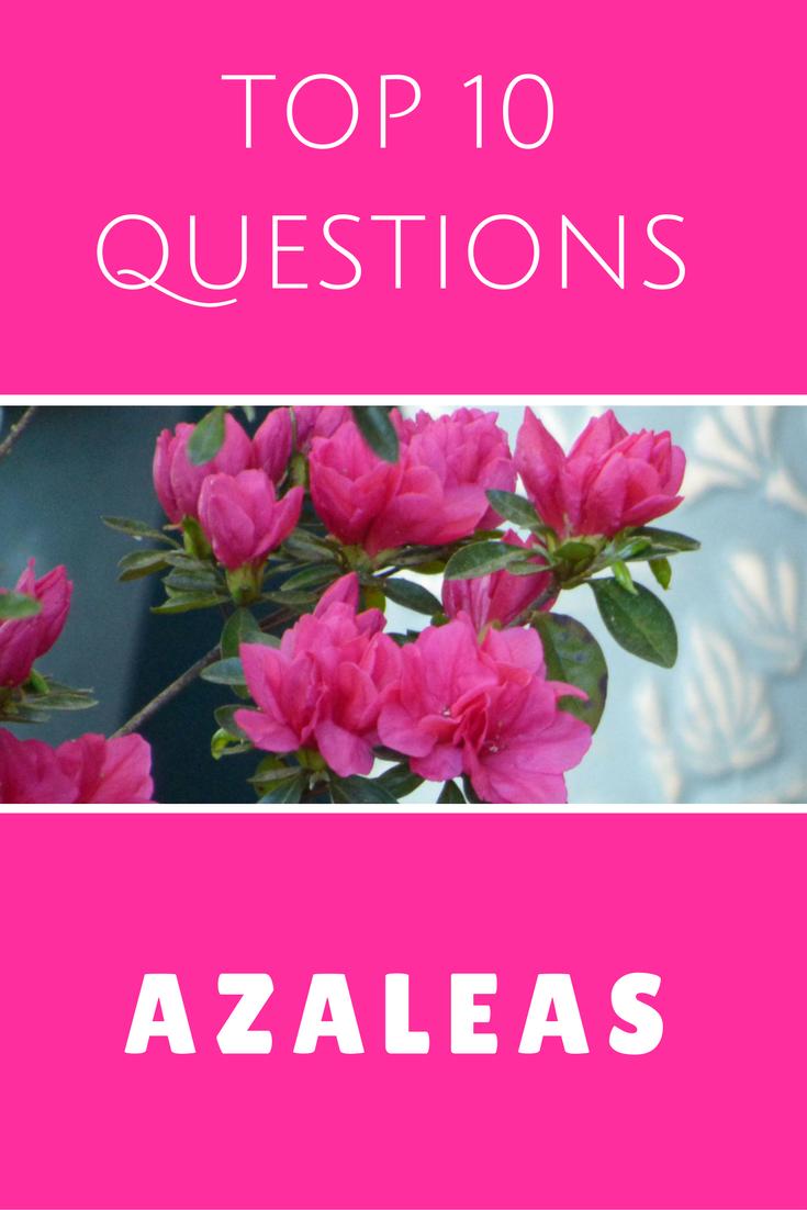 Top 10 Questions About Azalea Bushes Gardening Know How S Blog Azalea Flower Azaleas Care Azaleas Landscaping