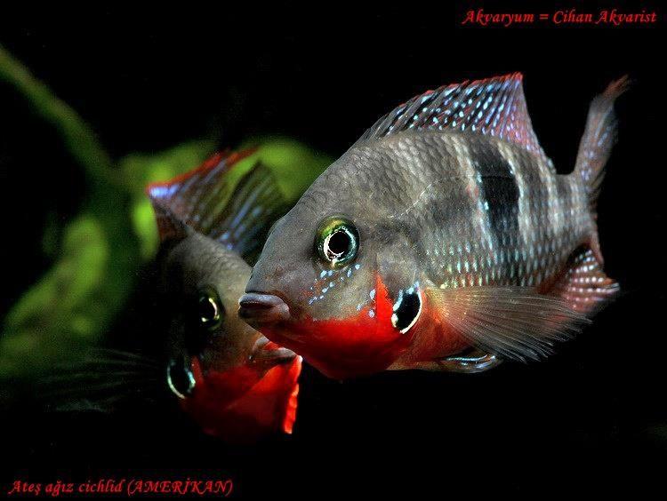 Цихлазома Меека / Маковая цихлазома / Firemouth cichlid / Thorichthys meeki #цихлазома #меека #рыба