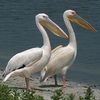 Pel cano com n pelecanus onocrotalus ave acu tica de - Fotos de pelicanos ...