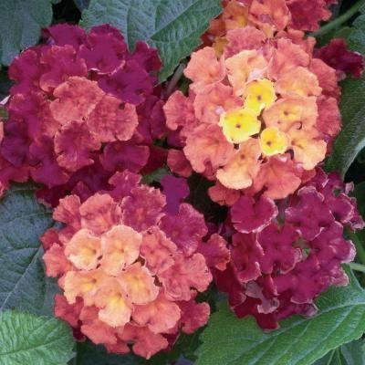 Proven Winners Proven Selections Bandana Cherry Sunrise Lantana 4 25 In Grande Lanprs6117520 The Home Depot Flowers Florida Flowers Planting Flowers