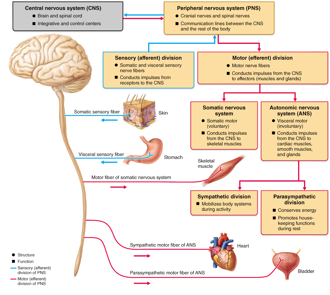 The Functional Organization Of The Nervous System With