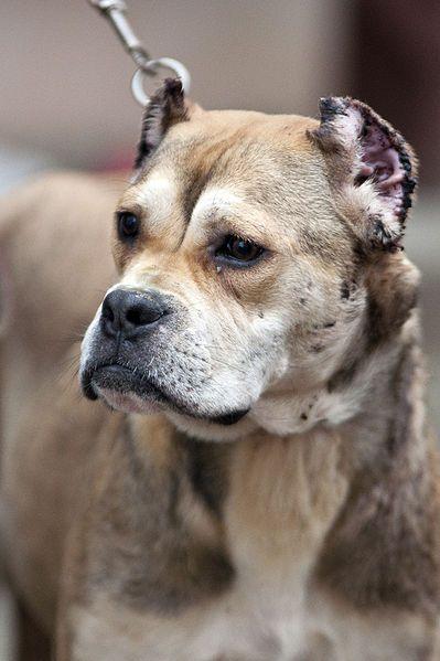 Cropping Dog Ears Cruel