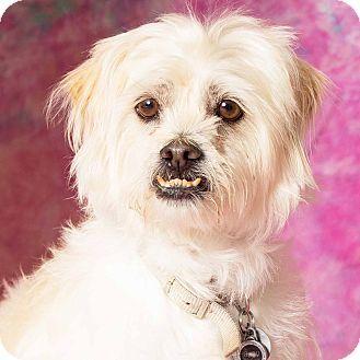 Gilbert, AZ - Pekingese/Poodle (Miniature) Mix. Meet Baby, a dog for adoption. http://www.adoptapet.com/pet/12928269-gilbert-arizona-pekingese-mix