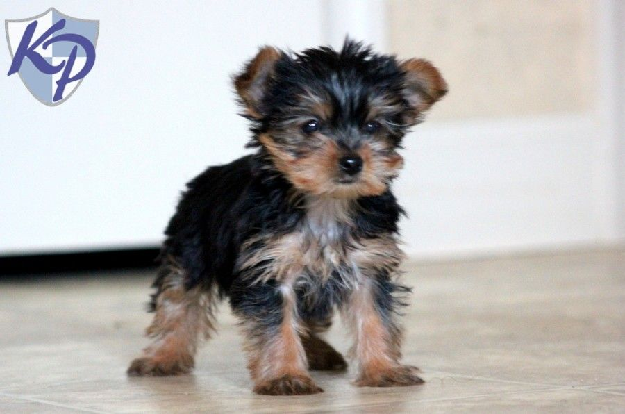 Puppy Finder Find Buy A Dog Today By Using Our Petfinder Yorkshire Terrier Puppies Yorkie Puppy Puppies