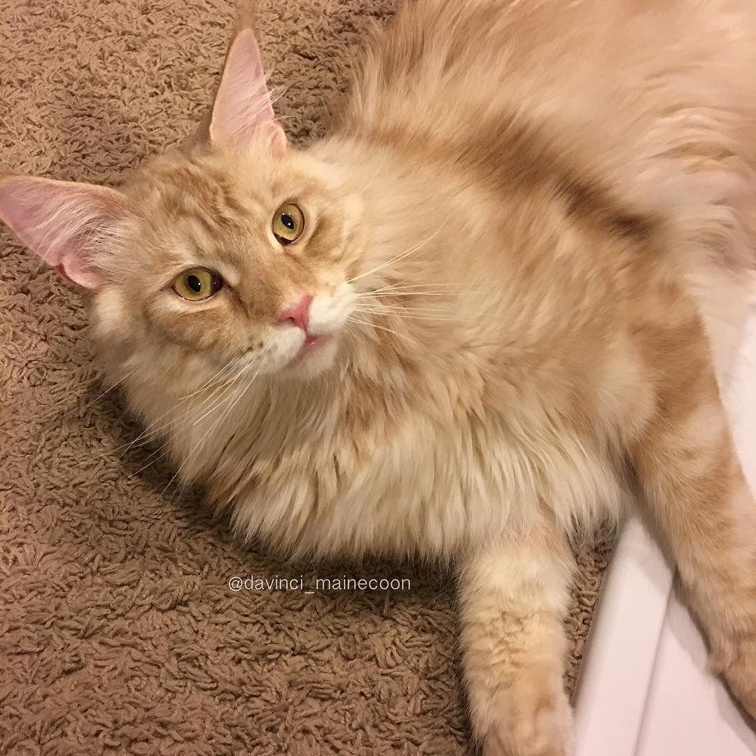 Goodnight furriends #DaVinciTheMaineCoon #mainecoon #mainecoon_id #instacat_meows #cats_of_world #cat_features #catsofinstagram #bestcats_oftheworld #cutepetclub #petsofinstagram #CatsofDallas #igTxCats #BestMeow #meowvswoof #catloversclub #mainecoon_feature #igAnimal_snaps #topcatphoto #excellent_cats #catsofgram #buzzfeedanimals #todaypets #9gagpets #teamfancykitty #catsofcatster #my_loving_pet #pin