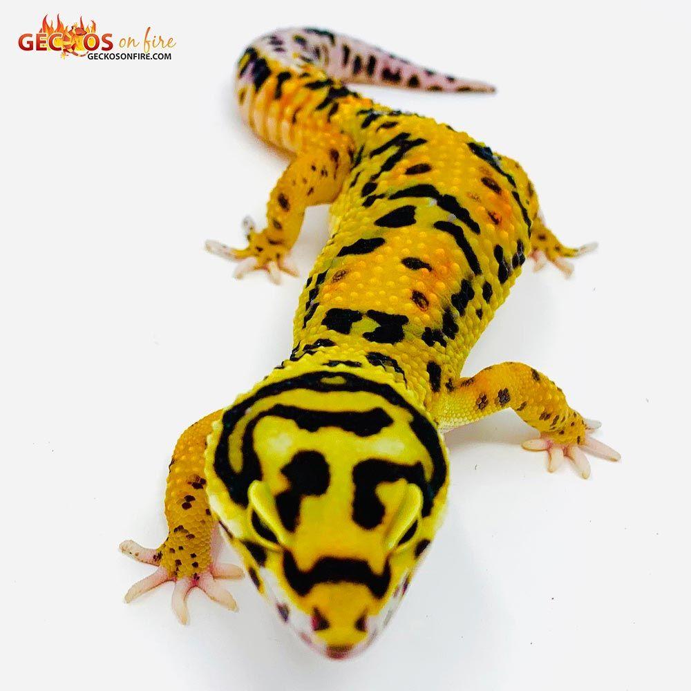 Tangerine bold leopard gecko | geckosonfire com | Leopard gecko