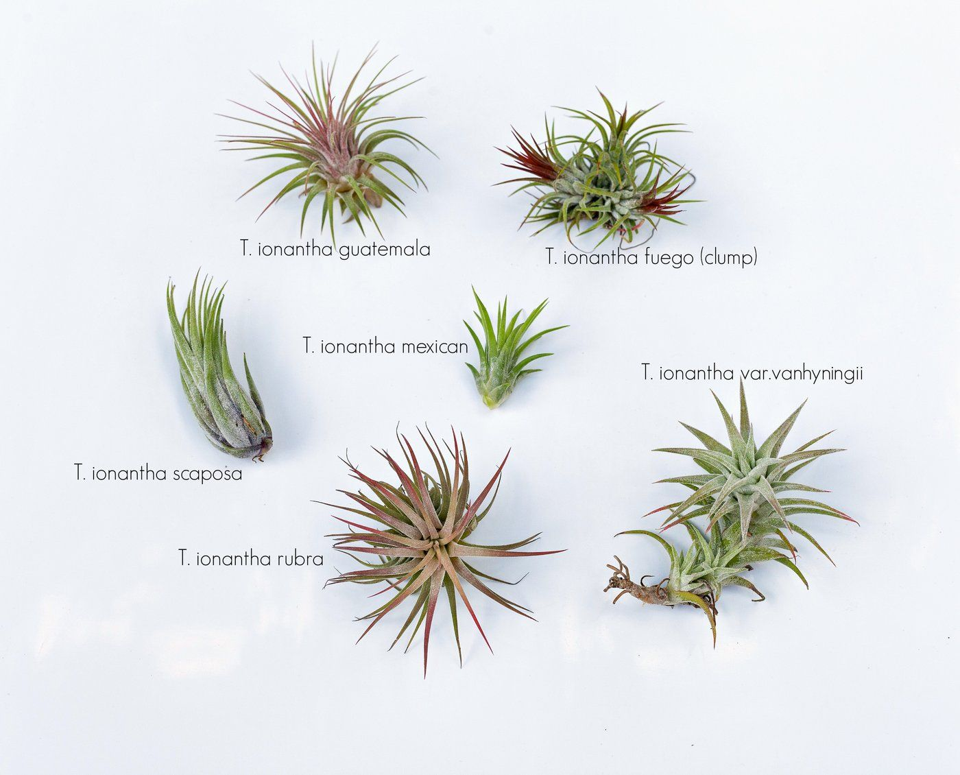 Common Tillandsia Ionantha Forms Air Plants Air Plants Care Air