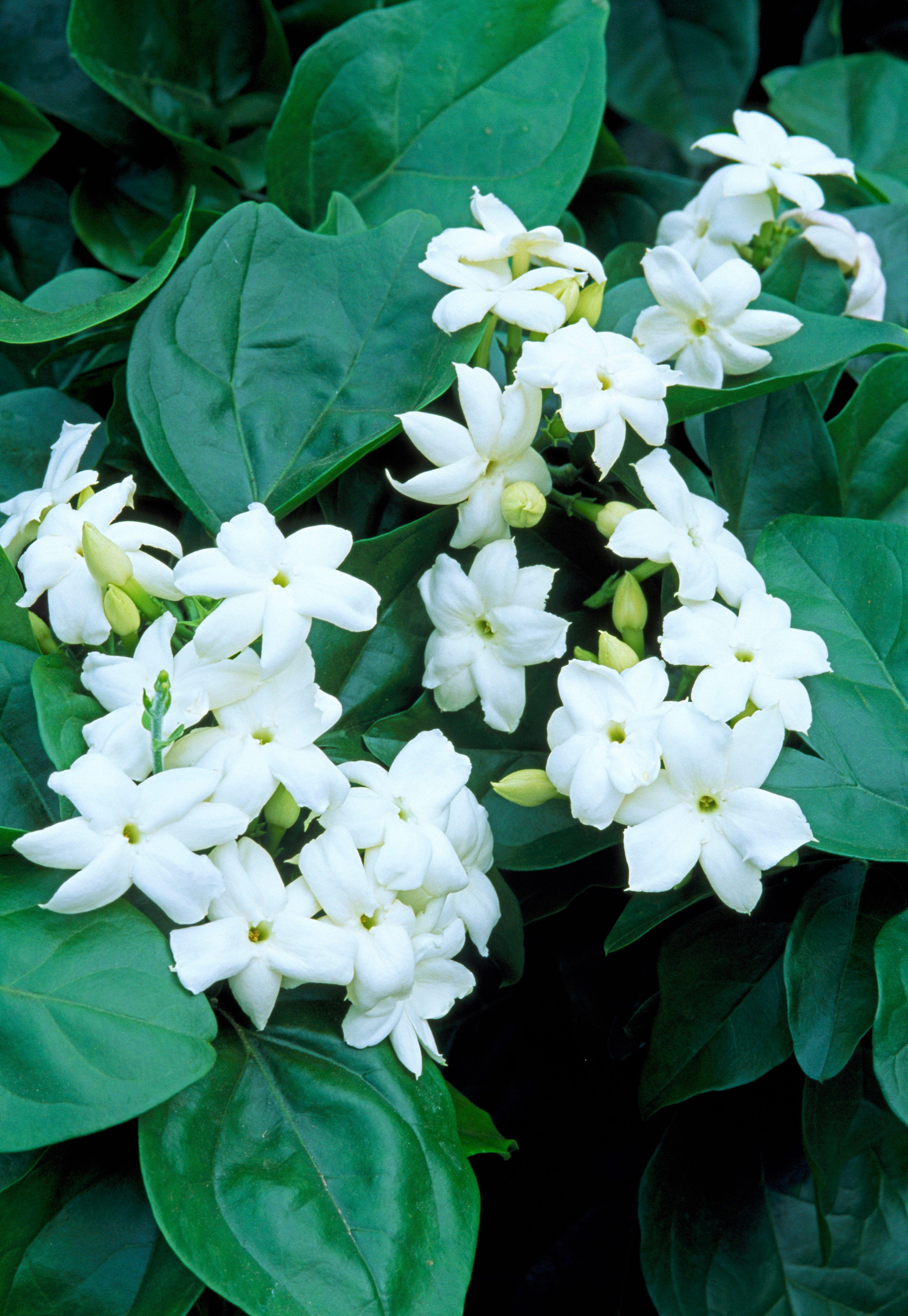 Arabian jasmine monrovia arabian jasmine juania creates arabian jasmine monrovia arabian jasmine izmirmasajfo