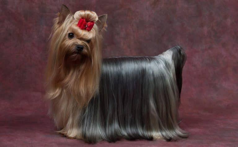 Silky Terrier Australiano Retrato Silky Terrier Terrier Perros Yorkshire