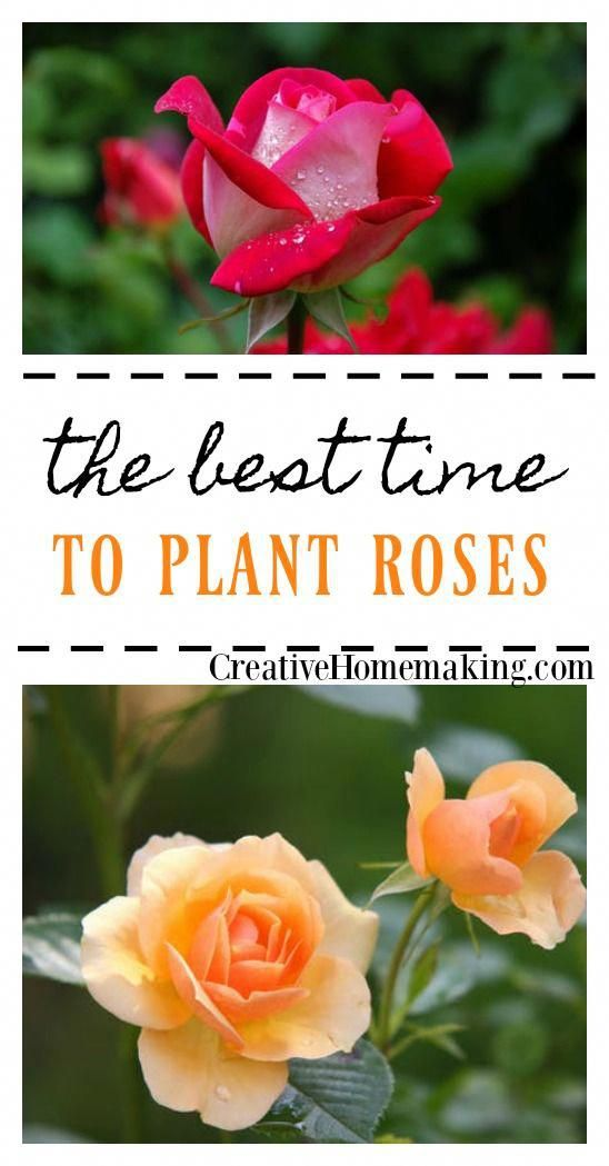 Pin By Rachel Creative Homemaking On Tips For Planting N Pruning When To Plant Roses Planting Roses Rose Garden Landscape