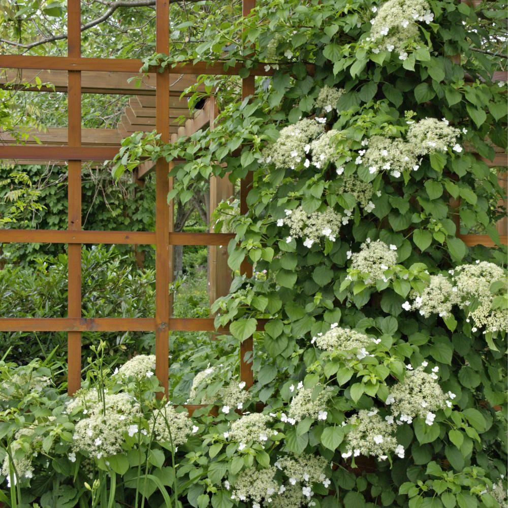 Kletterhortensie Kletterhortensie, Hydrangea petiolaris
